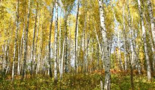 Golden Birch Forest Mural